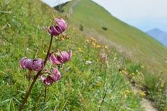 Liliummartagon - den Martagon liljan eller turks lockliljan - lös blomma som blommar på berglutningarna - västra Carpathians, Slo arkivbild
