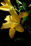 Liliums amarelo Foto de Stock Royalty Free