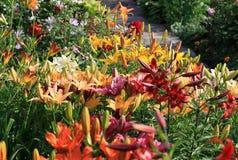 Liliums dans le jardin Images stock