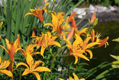Liliums in the garden. Liliums (lily) in the garden in summer time Stock Photo