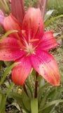 Liliy bloem royalty-vrije stock afbeelding