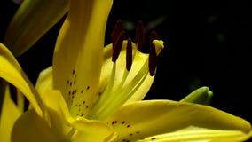 Lilja—drottning av blommaträdgården stock video