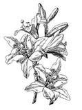 lilja vektor illustrationer
