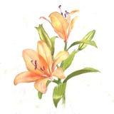 lilja royaltyfri illustrationer