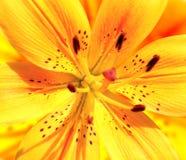 lilja Arkivfoto