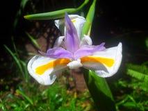 lilja Arkivbild