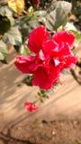 lilja Royaltyfria Foton