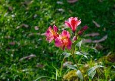 Lilja av aztecsna, en typ av den peruanska liljan arkivfoton