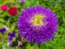 Lilja blommavit Arkivbild