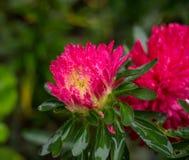 Lilja blommavit Arkivfoto