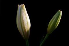 lilja för bakgrundsblackknopp Royaltyfria Foton