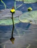 Lilja för gult damm Royaltyfri Bild