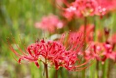 Lilja för röd spindel Arkivfoton