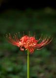 Lilja för röd spindel Royaltyfria Foton