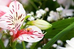 Lilja för rosa färger för blomma vit och Royaltyfri Fotografi
