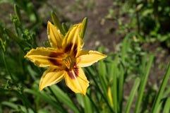 Lilja i blomsterrabatten Arkivfoto
