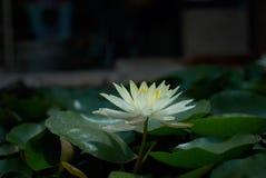 Lilja i ett damm Royaltyfria Bilder