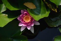 Lilja i vatten Arkivfoto