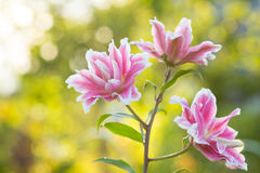 lilja Ljus sommar blommar i den frodiga trädgården Vårkort för Royaltyfri Fotografi