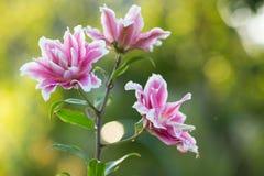 lilja Ljus sommar blommar i den frodiga trädgården Vårkort för Arkivfoto