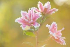 lilja Ljus sommar blommar i den frodiga trädgården Vårkort för Royaltyfri Foto