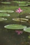 Lilja med reflexion Arkivbilder