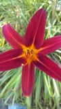Lilja och blom royaltyfria foton