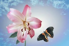 Lilja och flygfjäril Arkivfoto