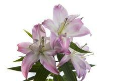 Lilja på en vit bakgrund arkivfoton