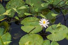 Lilja på vatten Fotografering för Bildbyråer