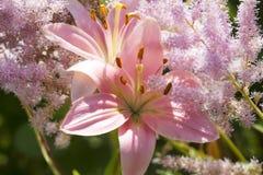 Lilja - prinsessaflora Arkivbild