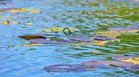 Liljablad på vatten Arkivfoto