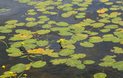 Liljablock i sötvattensjön Arkivfoton