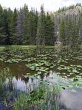 Liljablock och våtmarkgräs på sjön i Rocky Mountain National Park Royaltyfri Fotografi