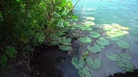 Liljablock på blått vatten av Heviz sjön arkivfilmer