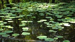 Liljablock på vatten Arkivfoto
