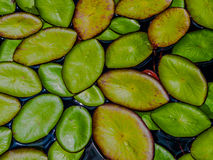 Liljablock på vattnet Arkivbild
