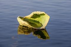 Liljablock som svävar i vatten Arkivfoton