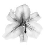 Liljablomma i svartvitt som isoleras på vit Arkivfoton