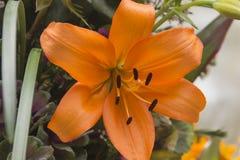 Liljablomma - liljor - Lilium Arkivfoton