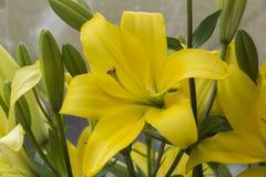 Liljablomma - liljor - Lilium Arkivbild