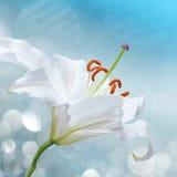 Liljablomma på en blå bakgrund Fotografering för Bildbyråer