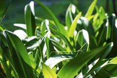 Liljablommablad på solig blomsterrabatt Trädgårds- makrofoto för sommar abstrakt bakgrundsgreenleaf Fotografering för Bildbyråer