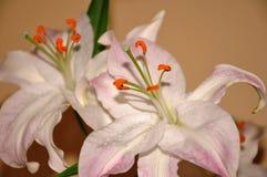 Liljablommafoto Arkivbild
