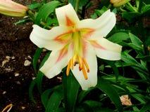 Liljablommavariation som är triumferande i sommarträdgården i byn royaltyfri foto