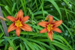 Liljablommor växer i en trädgård för landshus royaltyfri foto