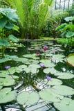 Liljadamm i den Kew trädgårdbotaniska trädgården, England Royaltyfria Foton