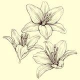Liljafärgpulver Royaltyfria Bilder