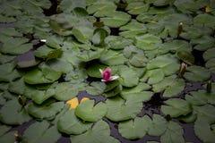 Liljaknopp i ett damm Royaltyfria Foton