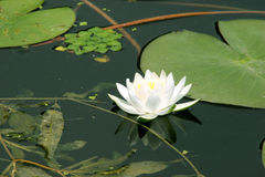 liljalotusblommavatten arkivfoto
